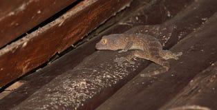 Gekko op houten huis Stock Foto's