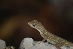 Gekko on stone. A little gekko stand on a stone, Guatemala stock image