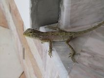 Gekko. Took this photo of this cute looking and curious gekko when i was i Thailand royalty free stock photo