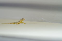 Gekko on the wall. Gekko with a given head to scour the surface for insects royalty free stock photo