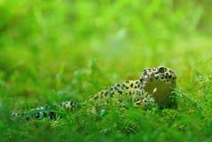 Gekkoluipaard Stock Foto's