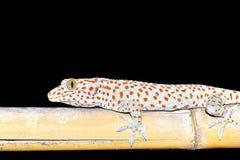 Gekkonidae de la salamandra imagenes de archivo