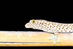 Gekkonidae de la salamandra fotografía de archivo