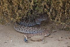 Geklapper-Schlange umwickelt unter Bush Stockfotos