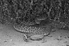 Geklapper-Schlange umwickelt unter Bush lizenzfreie stockfotografie