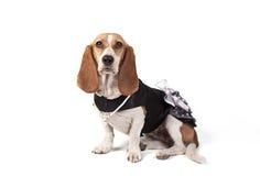 Geklede omhoog Basset Hond hoog-Sleutel royalty-vrije stock afbeelding