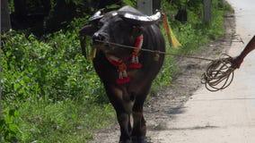 Geklede omhoog Thaise Buffels die door Wegkant lopen stock videobeelden