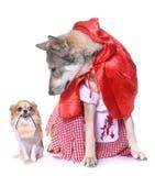 Geklede Saarloos wolfdog en chihuahua stock foto