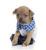 Gekleed Chihuahua-puppy (1 maand oud) Royalty-vrije Stock Afbeelding