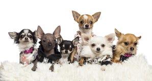 Gekleed en Chihuahuas die liggen Stock Foto's