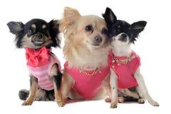 Gekleidete Chihuahua Lizenzfreie Stockbilder