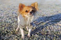 Gekleidete Chihuahua im Winter stockbilder