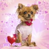 Gekleidete oben Chihuahua, die auf Herzhintergrund sitzen Stockfoto