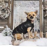 Gekleidete-oben Chihuahua in einer Winterlandschaft Lizenzfreie Stockfotografie