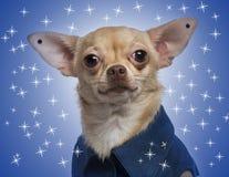 Gekleidete-oben Chihuahua mit Ohrringen Stockfotografie