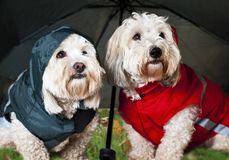 Gekleidete oben Hunde unter Regenschirm Stockbild