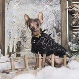 Gekleideter-oben Chinese Crested-Hund in einer Winterlandschaft Stockfoto