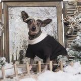 Gekleideter oben Chinese Crested-Hund in einer Winterlandschaft Lizenzfreie Stockfotografie