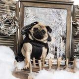 Gekleideter oben Pug, der auf Brücke in einer Winterlandschaft sitzt Stockfoto