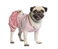 Gekleideter Pug (4 Jahre) Lizenzfreie Stockfotos