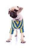 Gekleideter stehender Pugwelpenhund, der zu einer Seite schaut Lizenzfreies Stockfoto