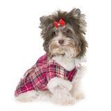 Gekleideter Welpe Biro-Yorkshire-Terrier stockbilder