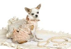 Gekleidetes-oben Chihuahuasitzen, die Kamera betrachtend, lokalisiert Lizenzfreies Stockbild