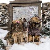 Gekleidetes-oben Shi-tzu und Chinese Crested-Hunde Stockfotos