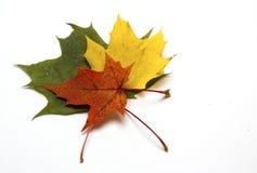 Gekleurd esdoornblad op wit blad als achtergrond/esdoorn Stock Afbeeldingen