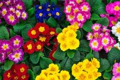 Gekleurd pansies Royalty-vrije Stock Afbeelding