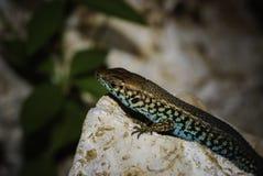 Gekleurd reptiel Royalty-vrije Stock Afbeeldingen