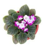 Gekleurd viooltje in een pot. Hoogste mening Royalty-vrije Stock Foto's