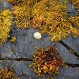 Gekleurd zeewier op rotsen Stock Afbeeldingen
