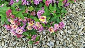 Gekleurde bloemen op het gruis Stock Foto