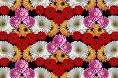 Gekleurde de groep bloeit grote madeliefjes op een zwarte achtergrond Stock Fotografie