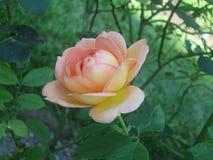 Gekleurde de zalm nam met groene bladeren toe royalty-vrije stock foto