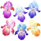 Gekleurde die irisbloemen op het wit worden geïsoleerd Royalty-vrije Stock Fotografie