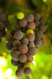 Gekleurde druiven royalty-vrije stock afbeelding