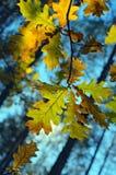 Gekleurde eiken bladeren De herfst bos Zachte foto Stock Afbeelding