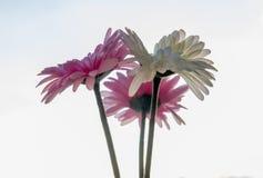 Gekleurde gerberas stock afbeelding