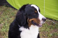 Gekleurde hond Stock Foto