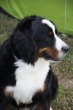 Gekleurde hond Royalty-vrije Stock Fotografie