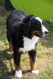 Gekleurde hond Stock Afbeeldingen