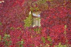 Gekleurde klimop op een venster Stock Foto's