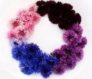 Gekleurde korenbloemen op een witte achtergrond Stock Foto's