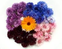 Gekleurde korenbloemen op een witte achtergrond Royalty-vrije Stock Afbeeldingen
