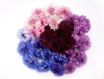 Gekleurde korenbloemen op een witte achtergrond Royalty-vrije Stock Foto
