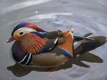 Gekleurde mandarin eend op het water Stock Foto's