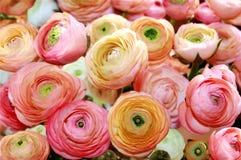 Gekleurde pioenen Stock Fotografie