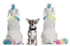 Gekleurde poedels met mohawks en Chihuahua Royalty-vrije Stock Afbeeldingen